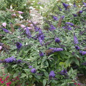 Pugster Blue Buddleia
