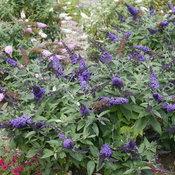 pugster_blue_butterfly_bush_landscape.jpg