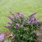 pugster_periwinkle_butterfly_bush_landscape.jpg