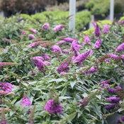 pugster_periwinkle_butterfly_bush_plants.jpg