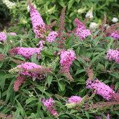 pugster_pink_butterfly_bush_flowers.jpg