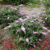 pugster_pink_butterfly_bush_landscape.jpg