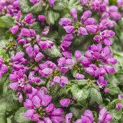 purple_chablis_lamium.jpg