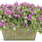 Purple Chablis™