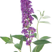 purple_emperor_buddleia2.jpg