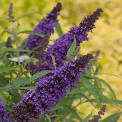 purple_emperor_buddleia_-8458.jpg