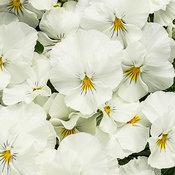 Anytime® Dove - Pansiola - Viola x wittrockiana