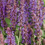 Color Spires® 'Violet Riot' Salvia nemorosa