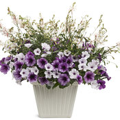 Lucky Lavender