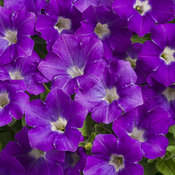 pw_supertunia_morning_glory_charm.jpg