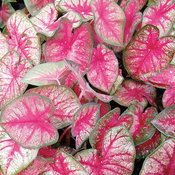 Heart to Heart® 'Radiance' - Sun or Shade Caladium - Caladium hortulanum