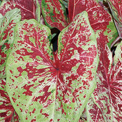 Heart to Heart™ 'Raspberry Moon' - Shade Caladium - Caladium hortulanum