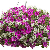 raspberry_princess_hanging_basket.jpg