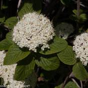 red_balloon_viburnum-5853.jpg
