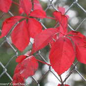 red_wall_parthenocissus-4590.jpg