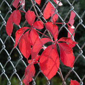 red_wall_parthenocissus-4592.jpg