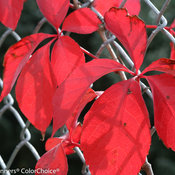 red_wall_parthenocissus-4598.jpg