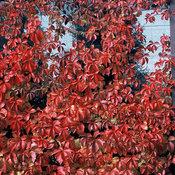 red_wall_parthenocissus_quinquefolia_troki_2.jpg