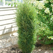 rhamnus_fine_line_improved_dsc08332.jpg