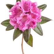 rhododendron_black_hat_02-macro.jpg