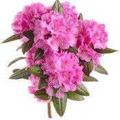rhododendron_black_hat_03-macro.jpg