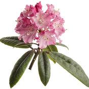 rhododendron_dandy_man_color_wheel_02-macro.jpg