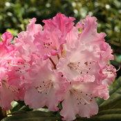 rhododendron_dandy_man_color_wheel_4.jpg