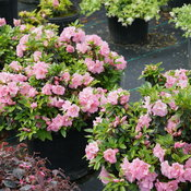 rhododendron_perfecto_mundo_double_pink_3.jpg