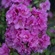 Perfecto Mundo® Double Purple - Reblooming Azalea - Rhododendron x