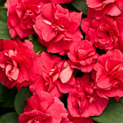 Rockapulco® Red - Double Impatiens - Impatiens walleriana