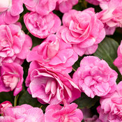 Rockapulco® Rose - Double Impatiens - Impatiens walleriana