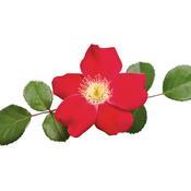 rosa_cherry_pie_01.jpg