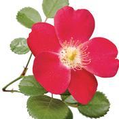 rosa_cherry_pie_02.jpg