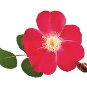 rosa_cherry_pie_04.jpg