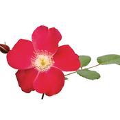 rosa_cherry_pie_05.jpg
