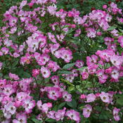Oso Happy® Smoothie - Landscape Rose - Rosa x