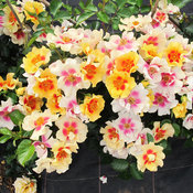 Ringo® - Rose - Rosa x