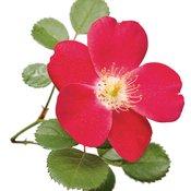 rosacherrypie02.jpg