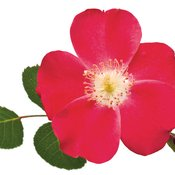 rosacherrypie04.jpg