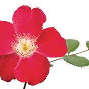 rosacherrypie05.jpg