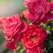 rosaosoeasymangosalsacrop.jpg