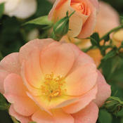 Oso Easy® Peachy Cream - Rose - Rosa