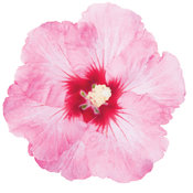 rose_satin_hibiscus.jpg
