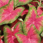 Heart to Heart® 'Rose Glow' - Shade Caladium - Caladium hortulanum