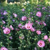 Ruffled Satin hibiscus (rose of sharon)