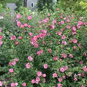 ruffled_satin_hibiscus.jpg