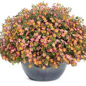 Safari® Dawn - South African Phlox - Jamesbrittenia hybrid