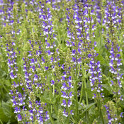 'Azure Snow' Salvia