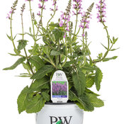 salvia_color_spires_back_to_the_fuchsia_1-gal.jpg