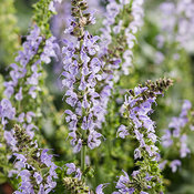 salvia_color_spires_crystal_blue.jpg